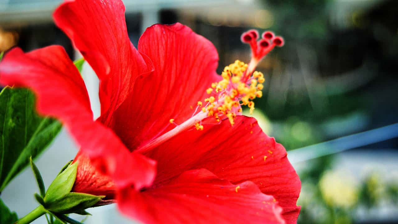 Bali flowers the red hibiscus is a common flower in bali and is often used as a symbol for many things in balinese culture its used as a decoration an offering to the izmirmasajfo